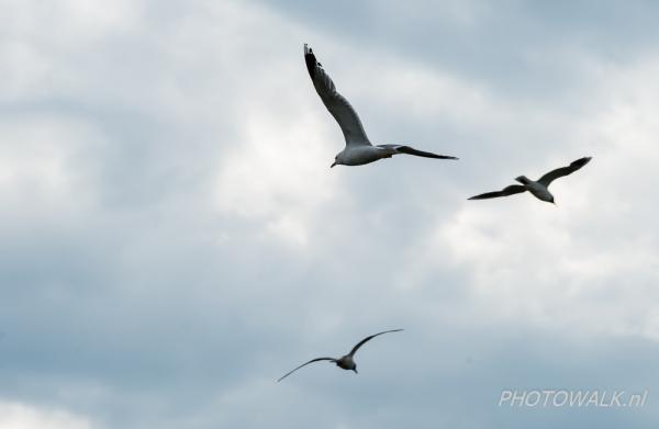 Mantelmeeuw met twee vogels